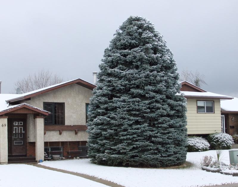Зимняя пересадка крупных деревьев