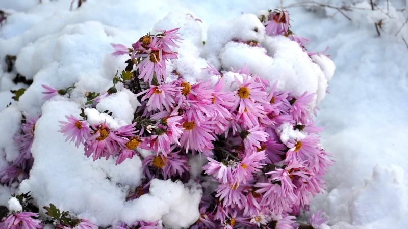 цветы под снегом
